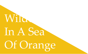 Wildcat Blue in a Sea of Orange